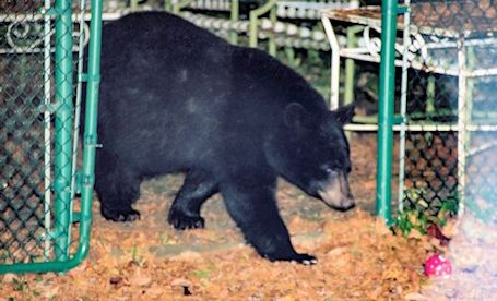 Bear-sighting in Lake Huron Highlands, north of Town of Kincardine, Tuesday night