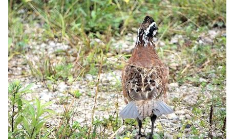 Photo in story is of a Northern Bobwhite Quail, says reader